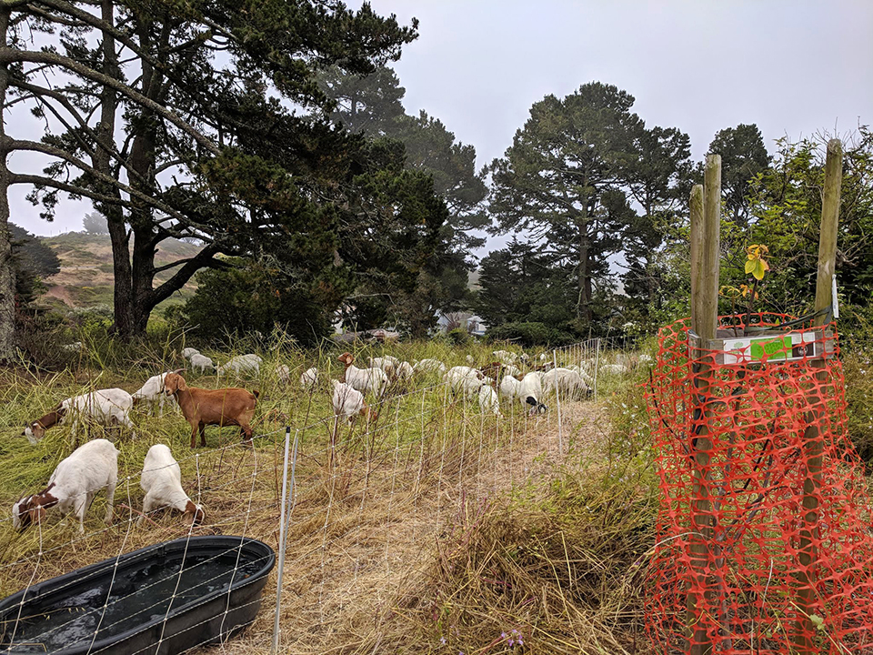 Greenscaping goats graze grass with gusto | Hoodline