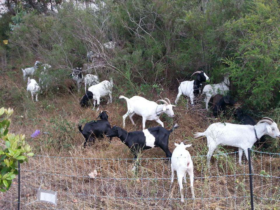 UCSF's Mt  Sutro Fire Safety Plan: More Goats, Fewer