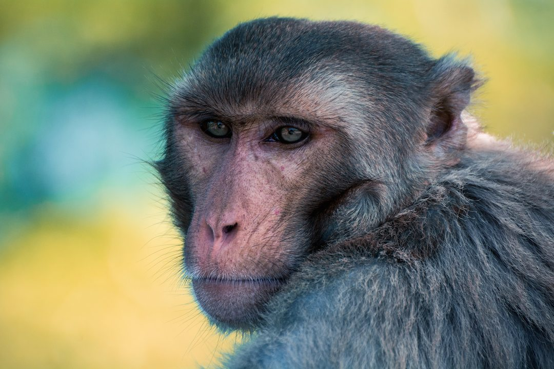 For Decades, Escaped UCSF Research Monkeys Amused, Terrified
