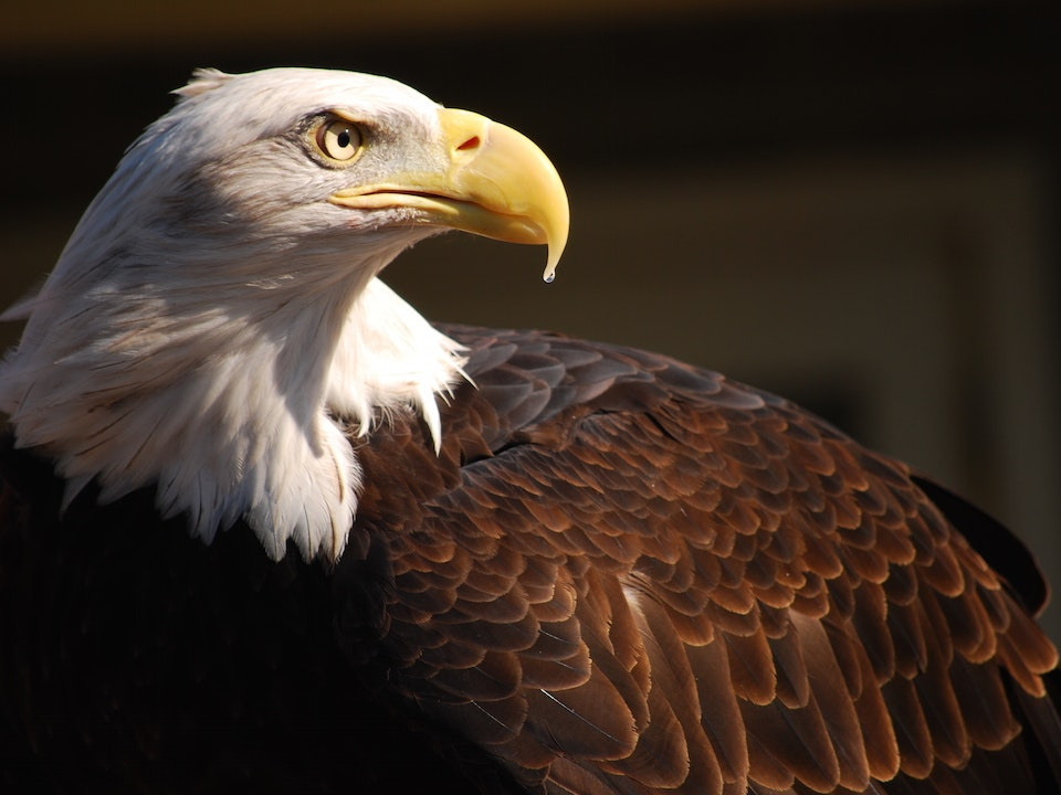 Sequoia the bald eagle by superde1uxe.jpg?ixlib=rails 0.3