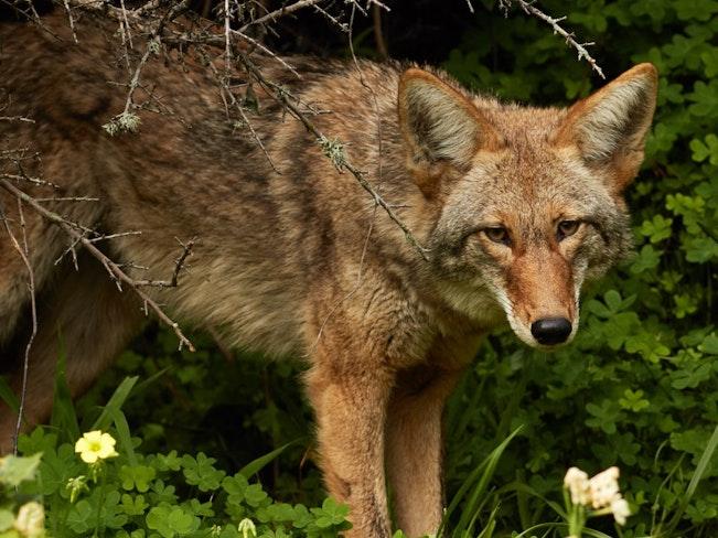Urban coyote  bernal heights  2016