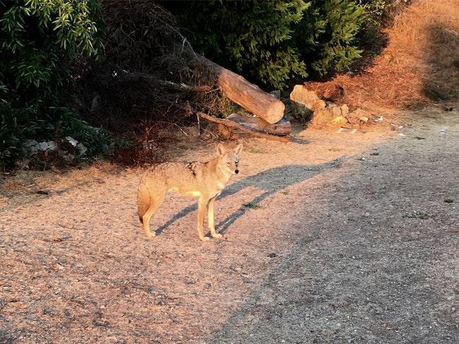 Rsz coyote 1