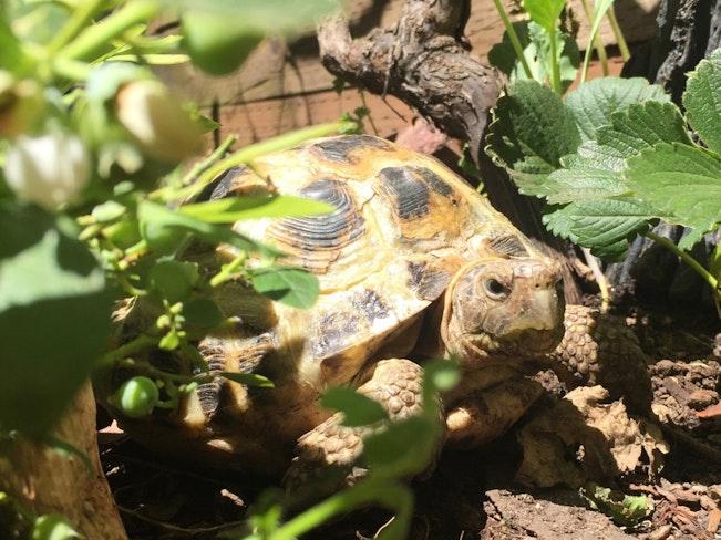 Sick russian tortoise