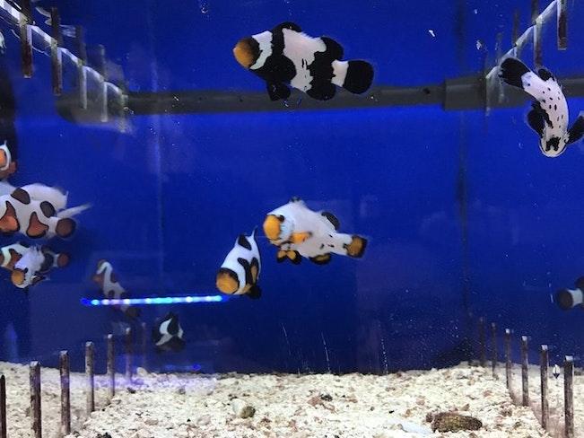 Da vinci clownfish